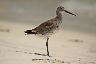 Birds (38)