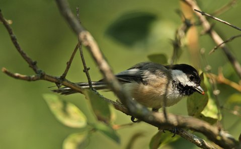 Birds (46)