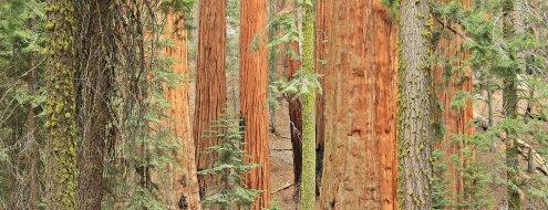 x_Sequoia_01